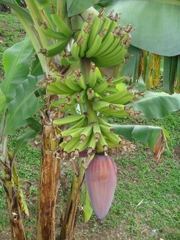 Pied de banane - Faire pousser des bananes ...